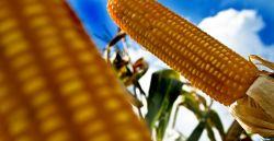 Governo autoriza importação de mais uma variedade de milho transgênico dos EUA